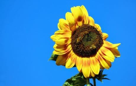 Flora, natuur, zomer, bloem, zonnebloem, veld, landbouw