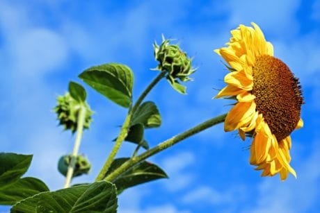 flora, summer, leaf, flower, nature, sunflower, field, agriculture