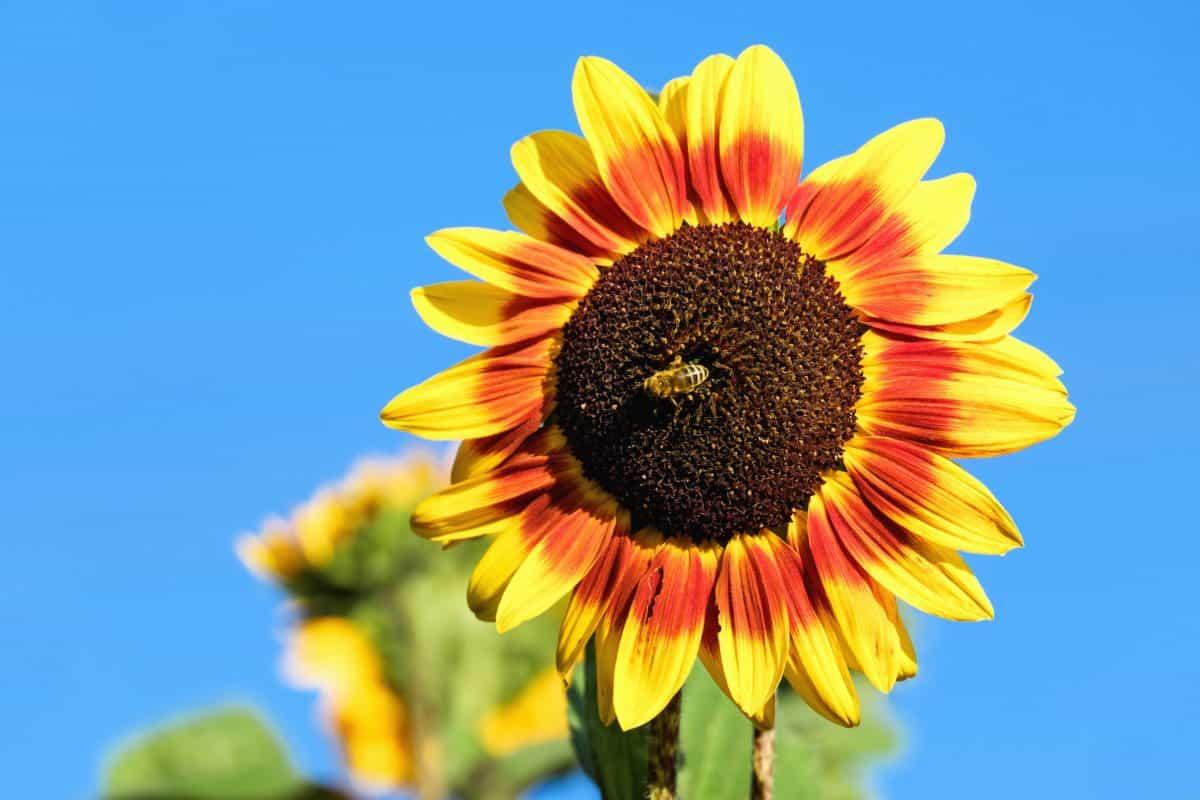 flower, summer, nature, flora, sunflower, field, agriculture