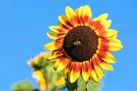 flower, summer, nature, flora, sunflower, field, agriculture