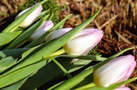 garden, nature, flora, flower, leaf, tulip, plant