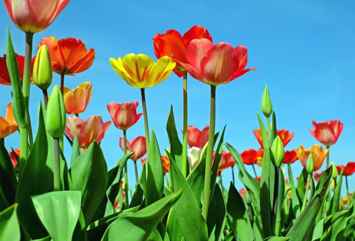 Garten, Flora, Tulpe, Sommer, Natur, Blatt, Blume, Tulpe