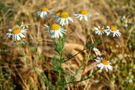 flora, flower, wild, field, grass, summer, chamomile, nature
