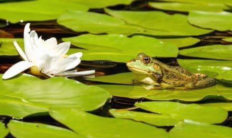 hoja, flor, blanco, rana, lotus, acuática, agua, naturaleza, anfibios