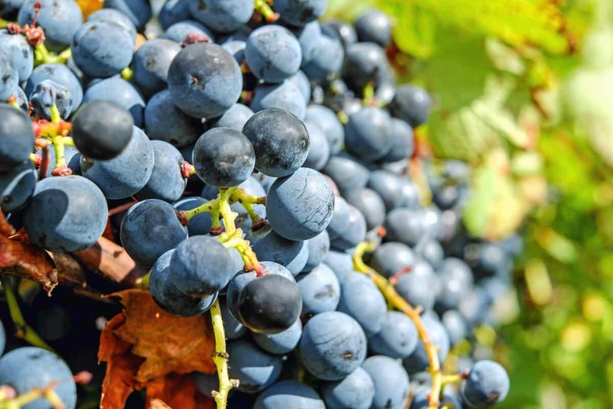 природа, храна, плодове, грозде плодове, лозе, земеделие