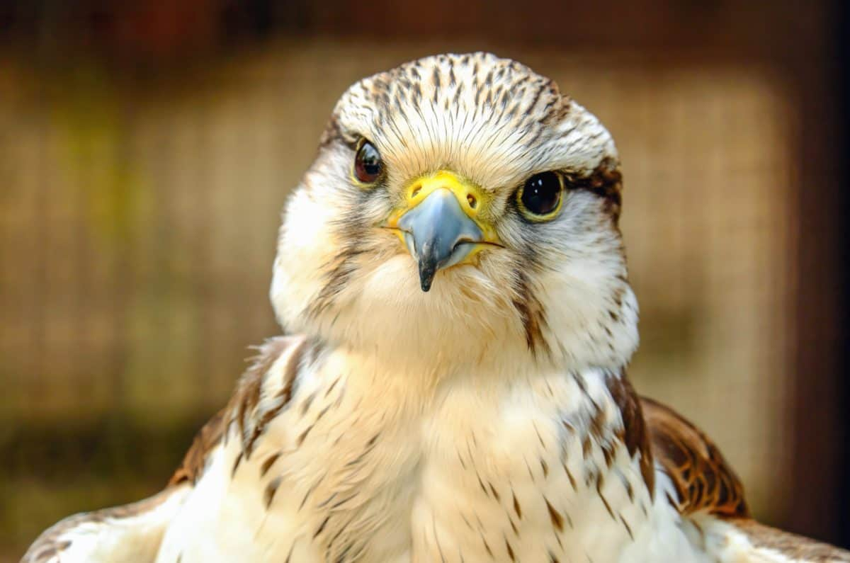 madár, hawk, szem, falcon, toll, vadász, természet, portré, ragadozó
