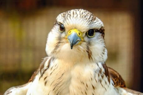 bird, hawk, eye, falcon, feather, hunter, nature, portrait, predator