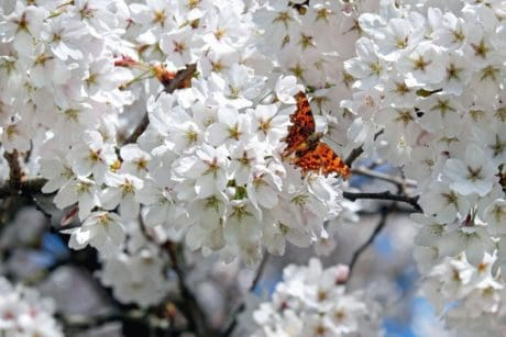 garden, nature, tree, butterfly, insect, branch, petal, flower, flora, cherry