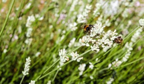 natur, insekt, sommer, bee, flora, honning, gress, blomst