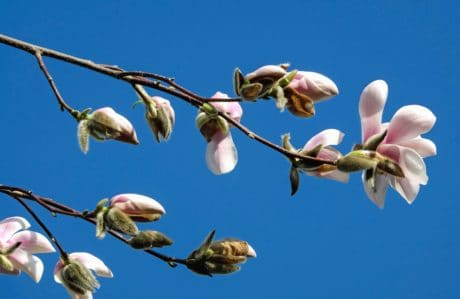 branch, nature, flower, flora, tree, sky, bud, spring