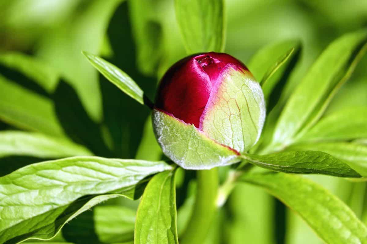 Flora, list, příroda, rostliny, Pivoňka květ, zelený