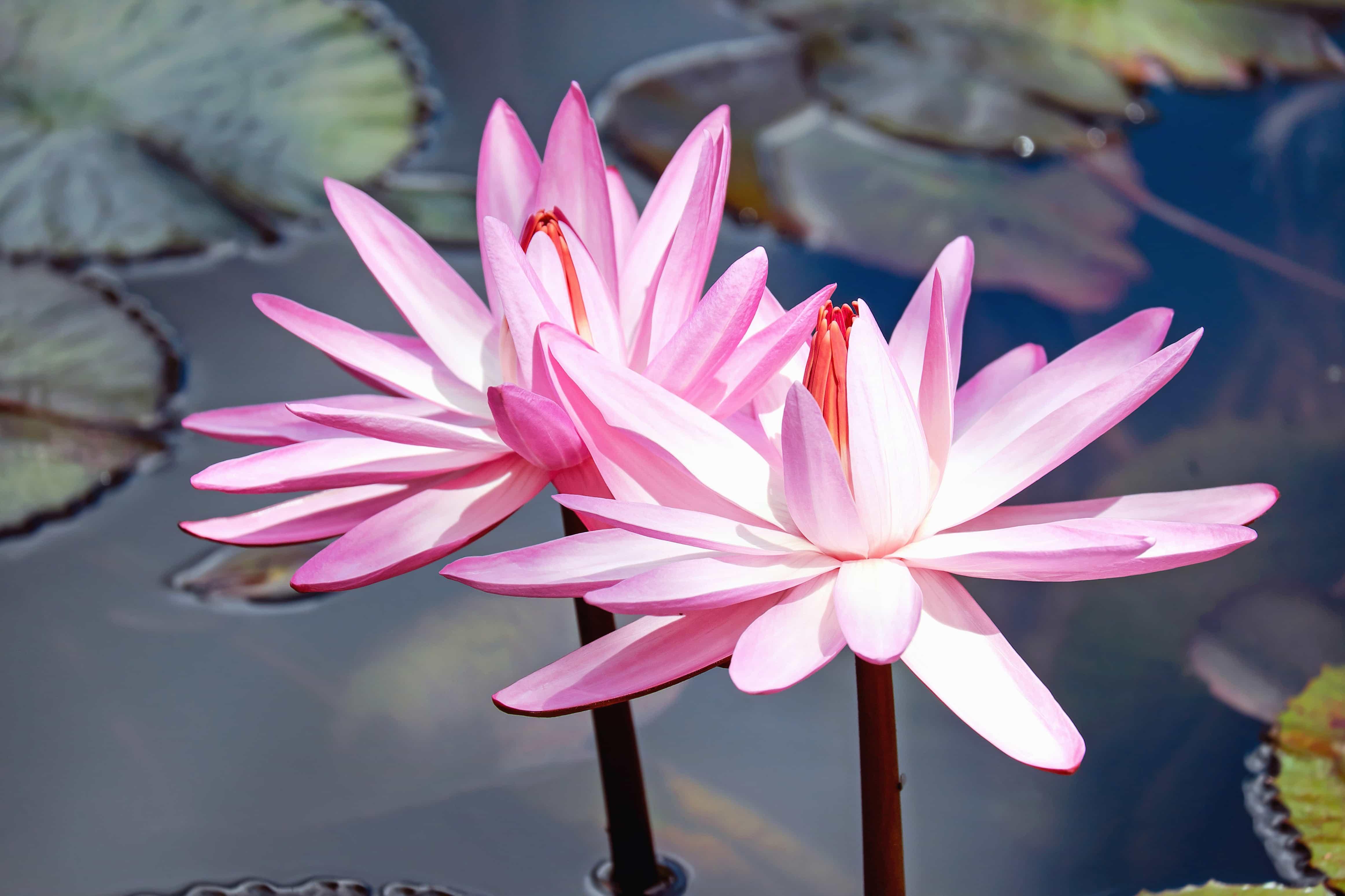 Imagen gratis lirio nen far naturaleza hoja flora for Fiori acquatici