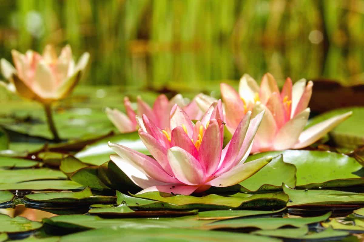 Blume, Garten, Lotus, Sommer, Flora, Blatt, Natur