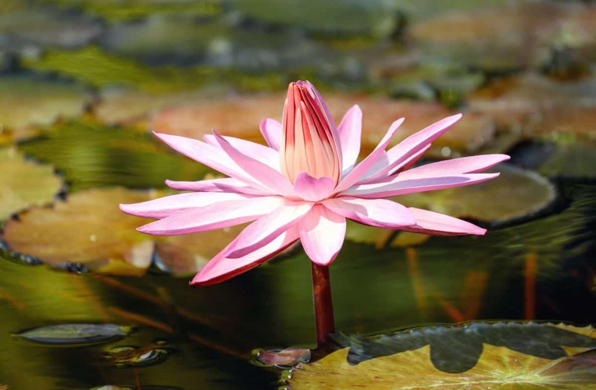Nenúfar, flor exótica, loto, hoja, naturaleza, acuático