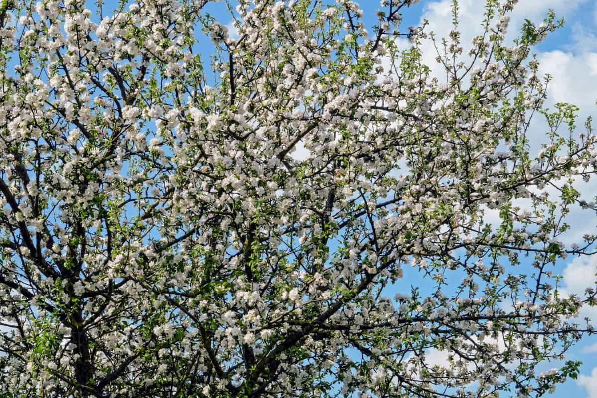 nature, tree, branch, flower, flora