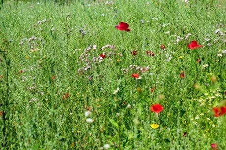草, 夏天, 野花, 花, 自然, 罂粟, 田野, 植物群