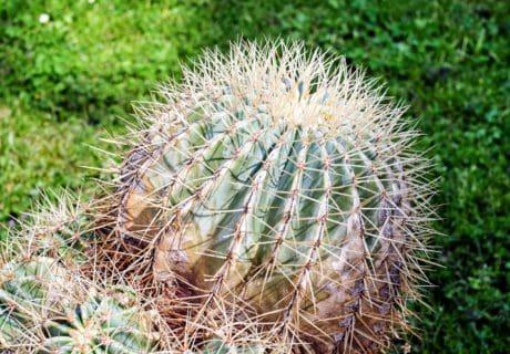 Flora, zahrada, pouště, příroda, kaktus, zelené trávy