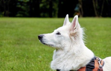 perro blanco, canino, mascotas, piel, lindo, hierba, al aire libre