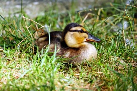grass, nature, duckling, outdoor, animal, duck