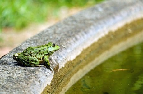frog, nature, eye, wildlife, grass, water