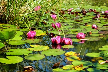 aquatic, tree, plant, flower, nature, grass, pond, water