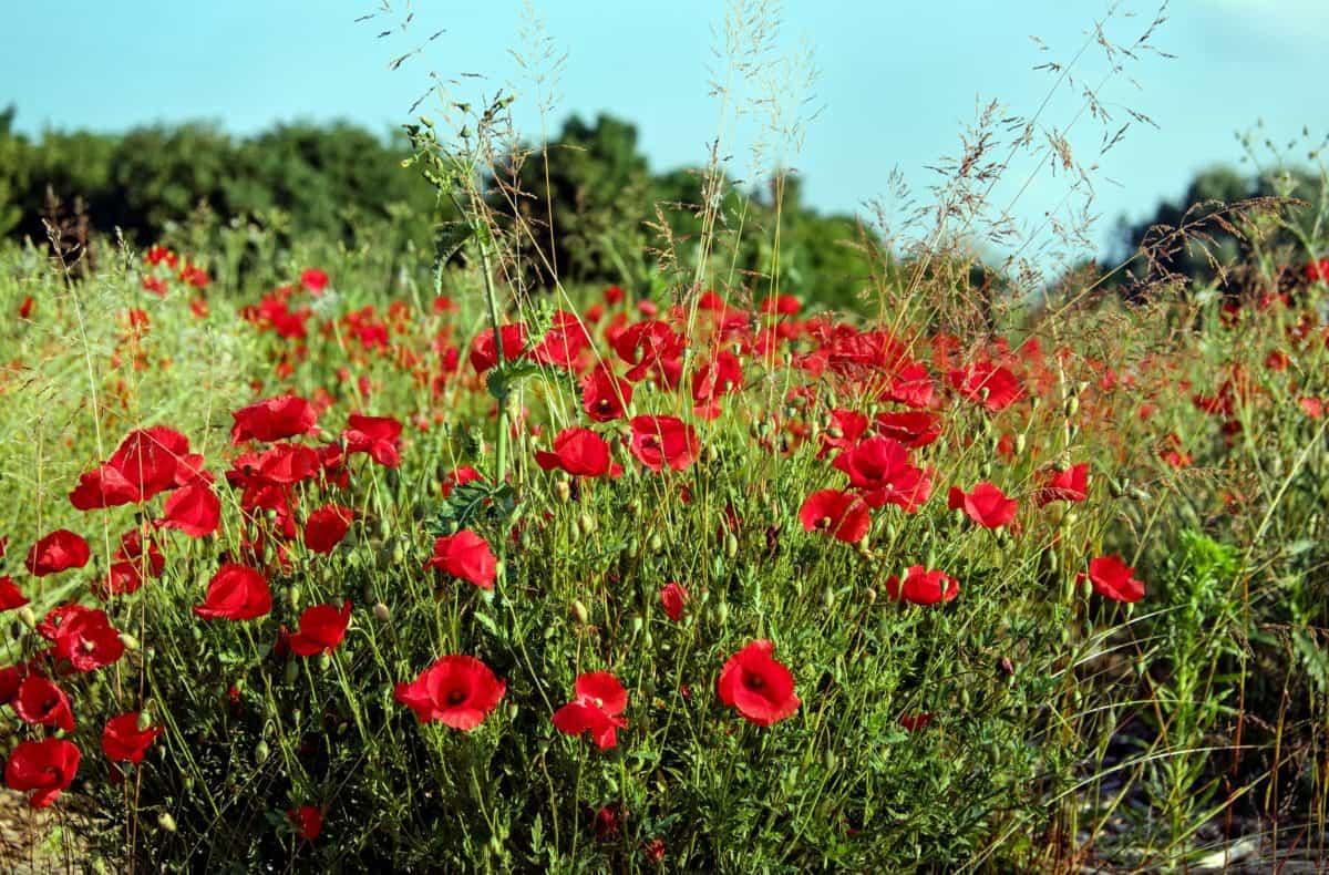 flower, poppy, plant, field, blue sky, summer, herb, meadow