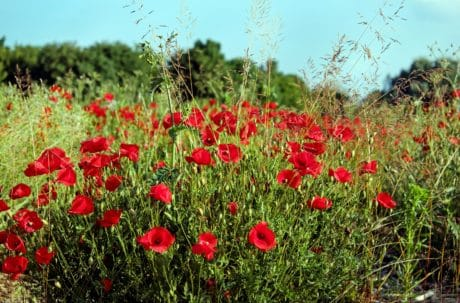 flower, poppy, plant, field, blue sky, summer, herb, meadow