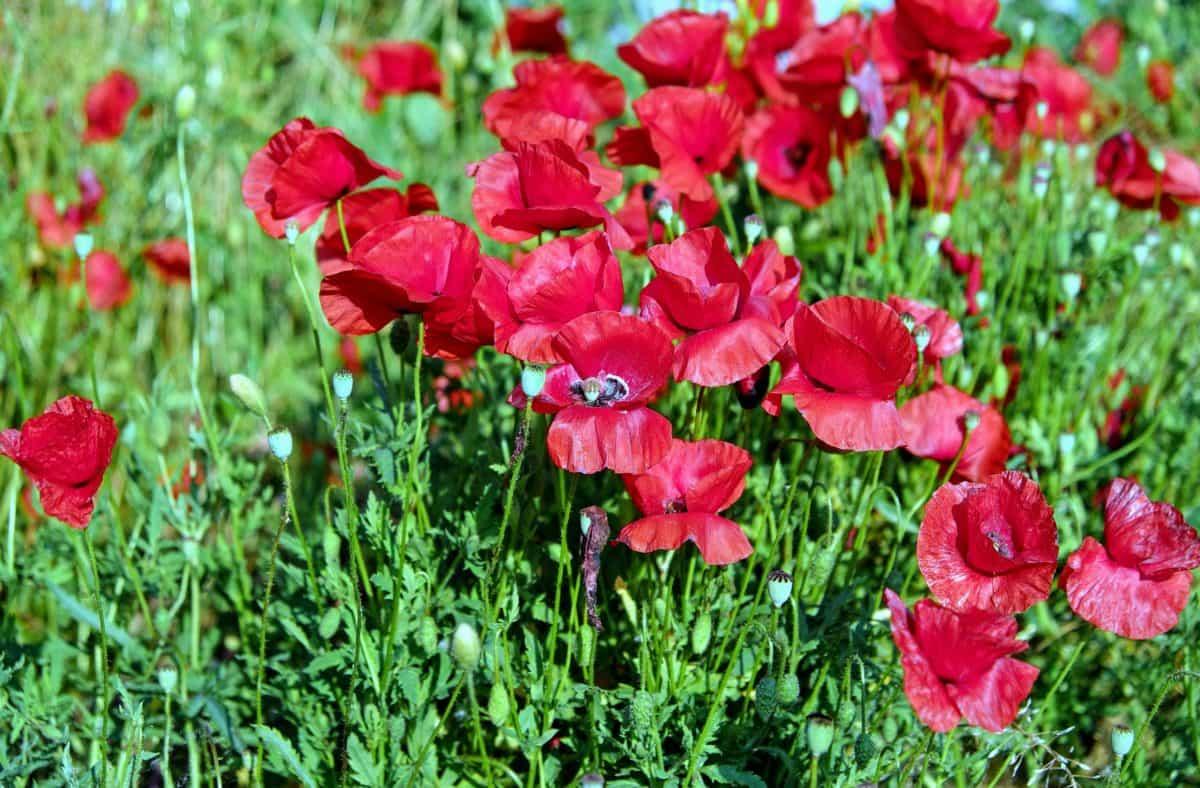 花园, 夏天, 田野, 花, 自然, 草, 植物, 罂粟