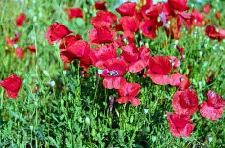 Tuin, zomer, veld, bloem, natuur, gras, flora, poppy