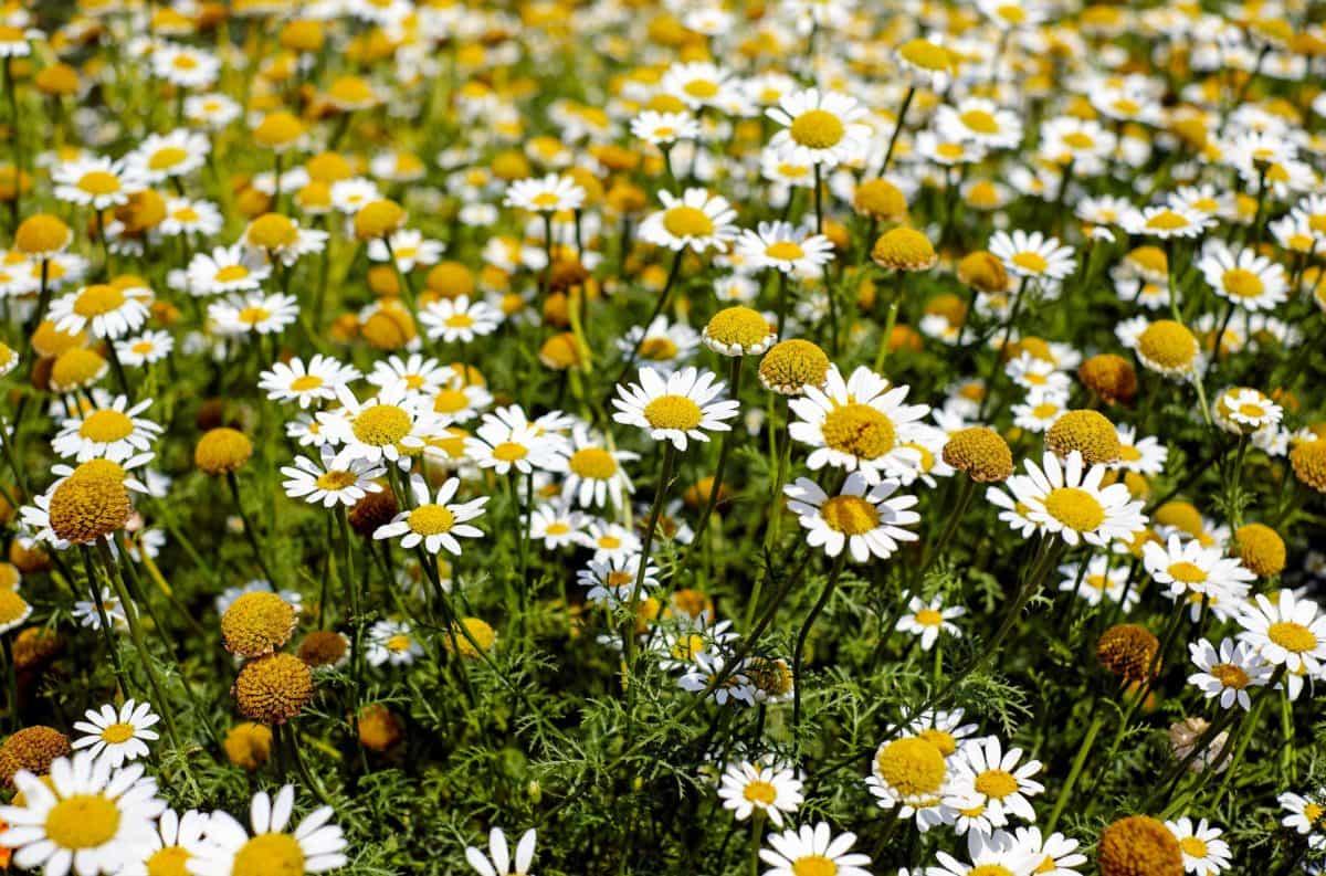 chamomile, flora, grass, summer, flower, field, nature, herb