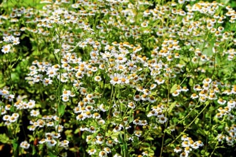 flora, flower, summer, nature, herb, plant, chamomile, meadow