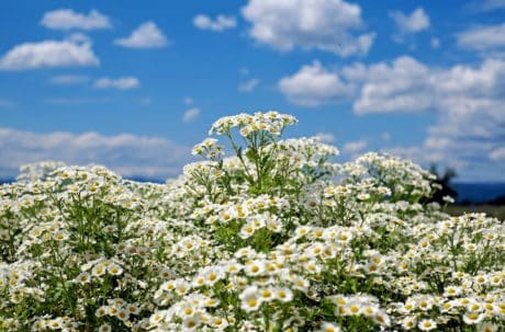 flower, summer, flora, chamomile, nature, field, landscape, grass