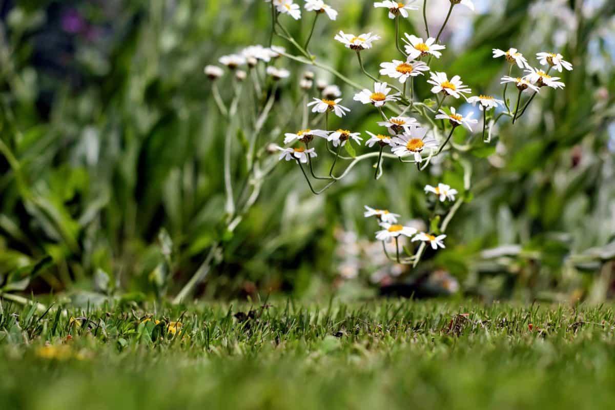 flora, chamomile, field, leaf, summer, flower, nature, grass, garden