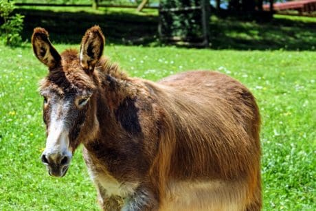 grass, farm, nature, animal, donkey, brown