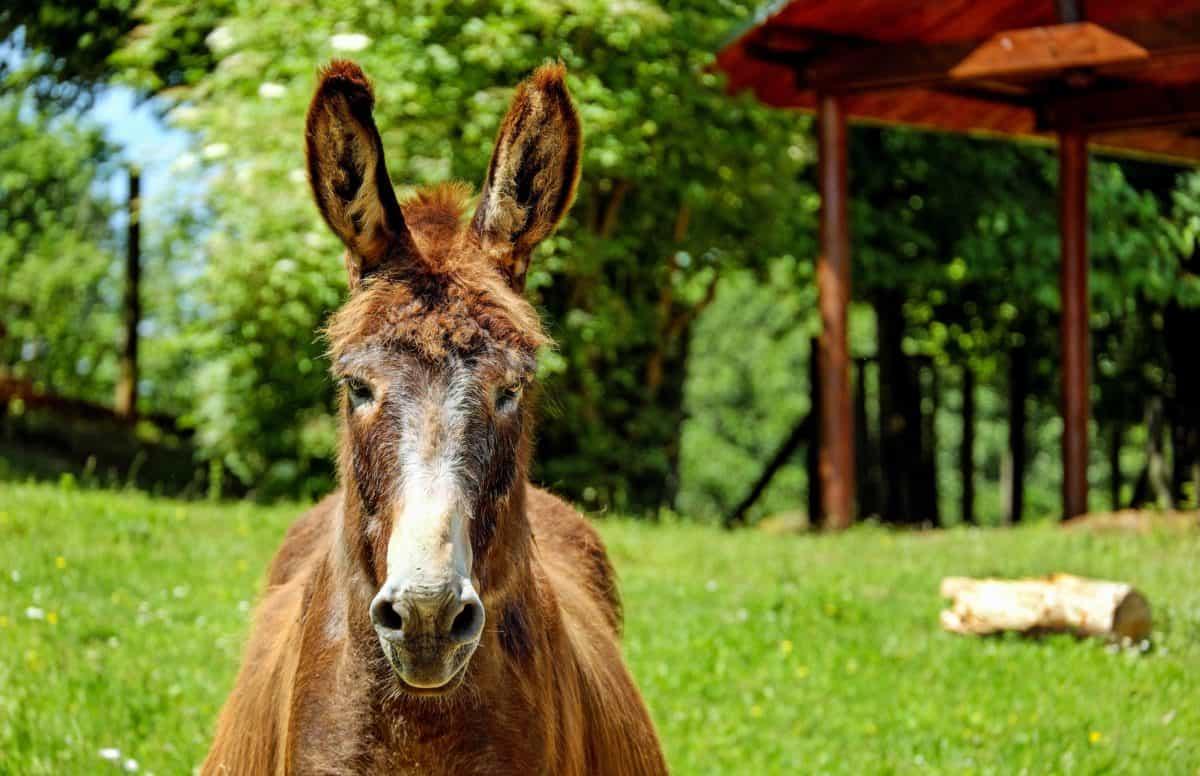 grass, farm, cute, animal, nature, donkey, tree