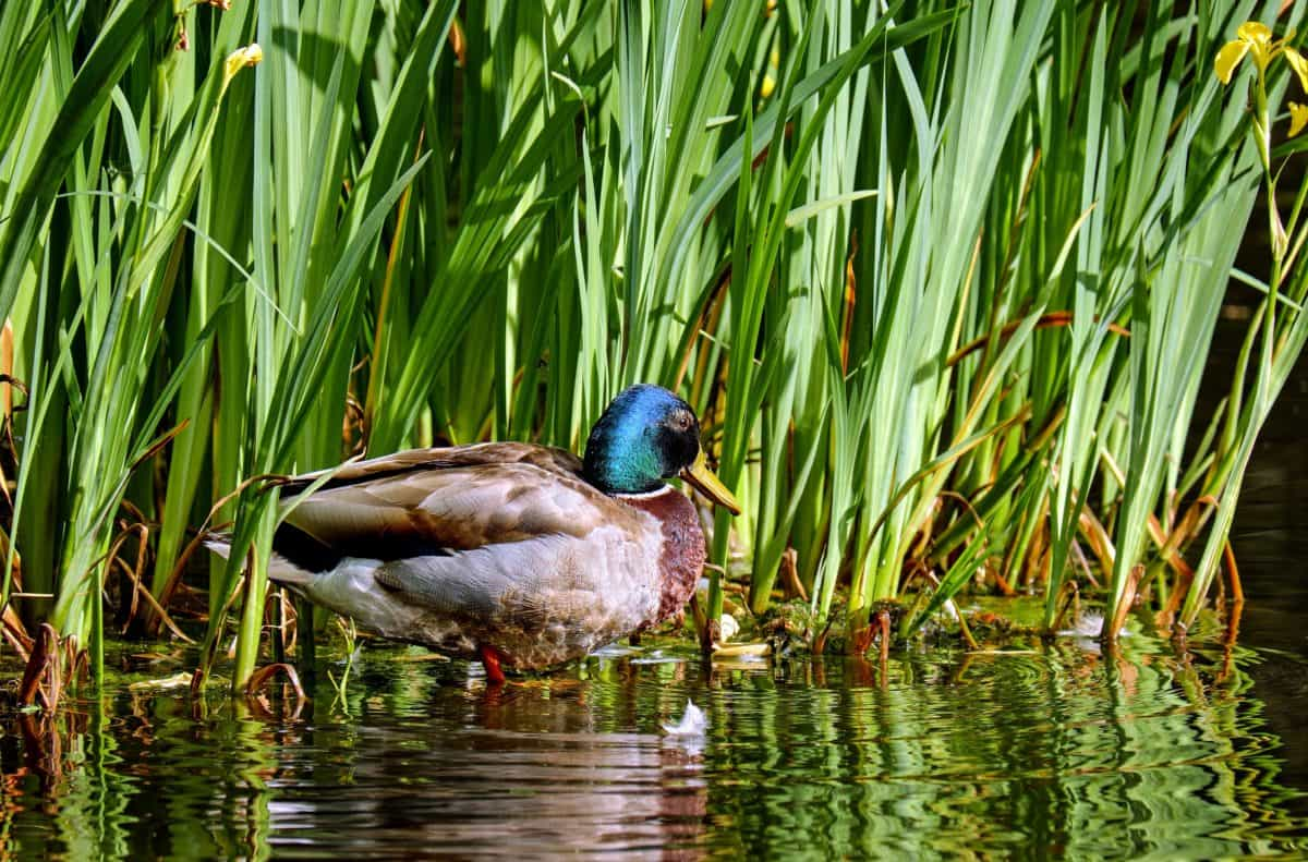 bird, nature, mallard, grass, duck, lake, water, waterfowl, pond, wildlife