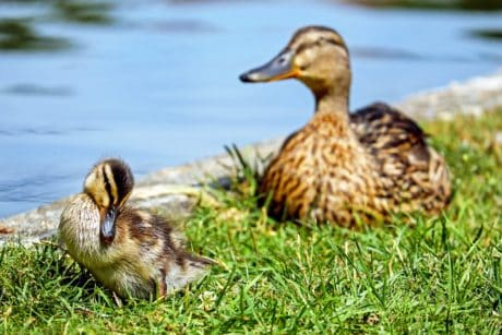 poultry, mallard, wildlife, bird, waterfowl, feather, duck