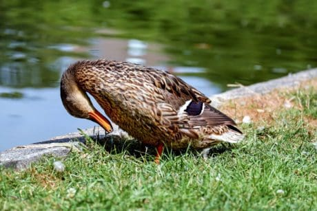 wild, bird, mallard, animal, duck, wildlife, nature, beak, water
