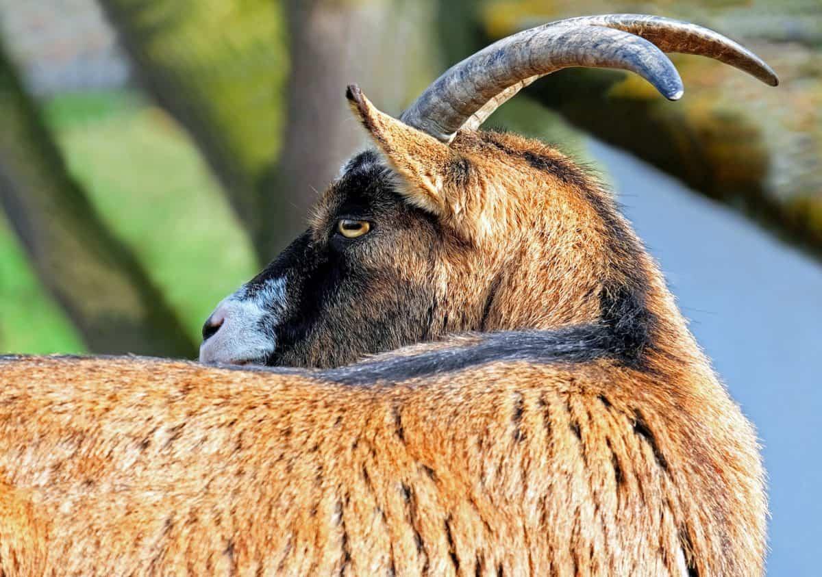 wildlife, animal, wild, goat, fur, horn