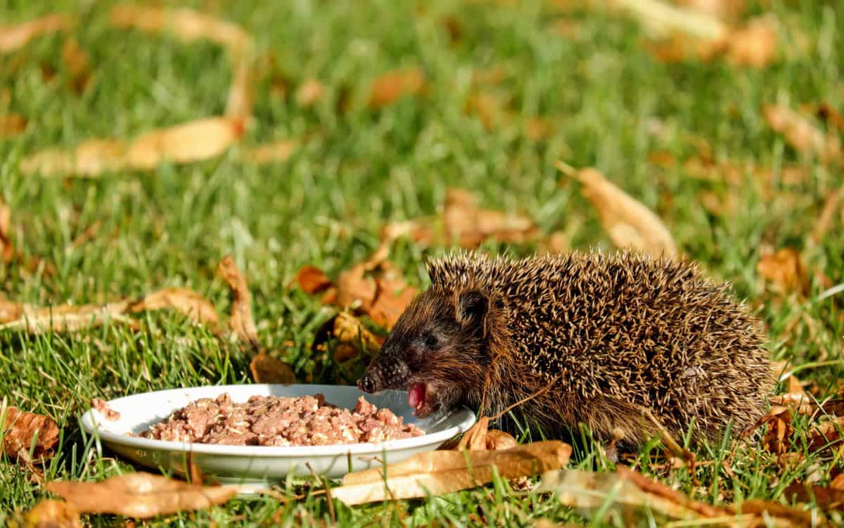 leaf, animal, green grass, food, hedgehog