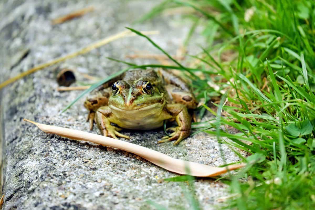 frog, nature, ground, grass, animal, outdoor