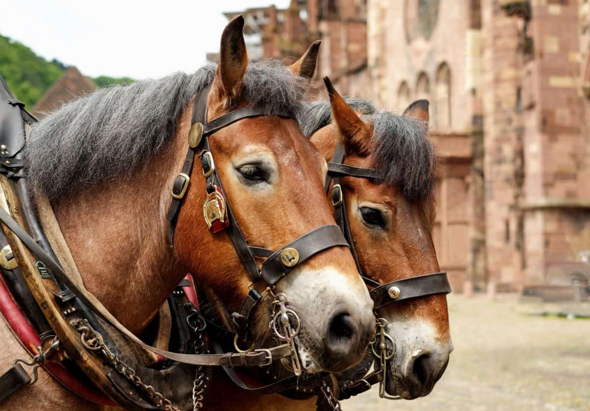 cavalry, bridle, horse, gear, animal, head, equine