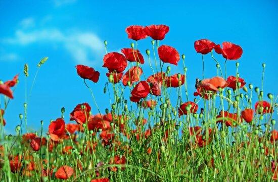 l'été, flore, fleur, pavot, nature, feuilles, herbe, champ