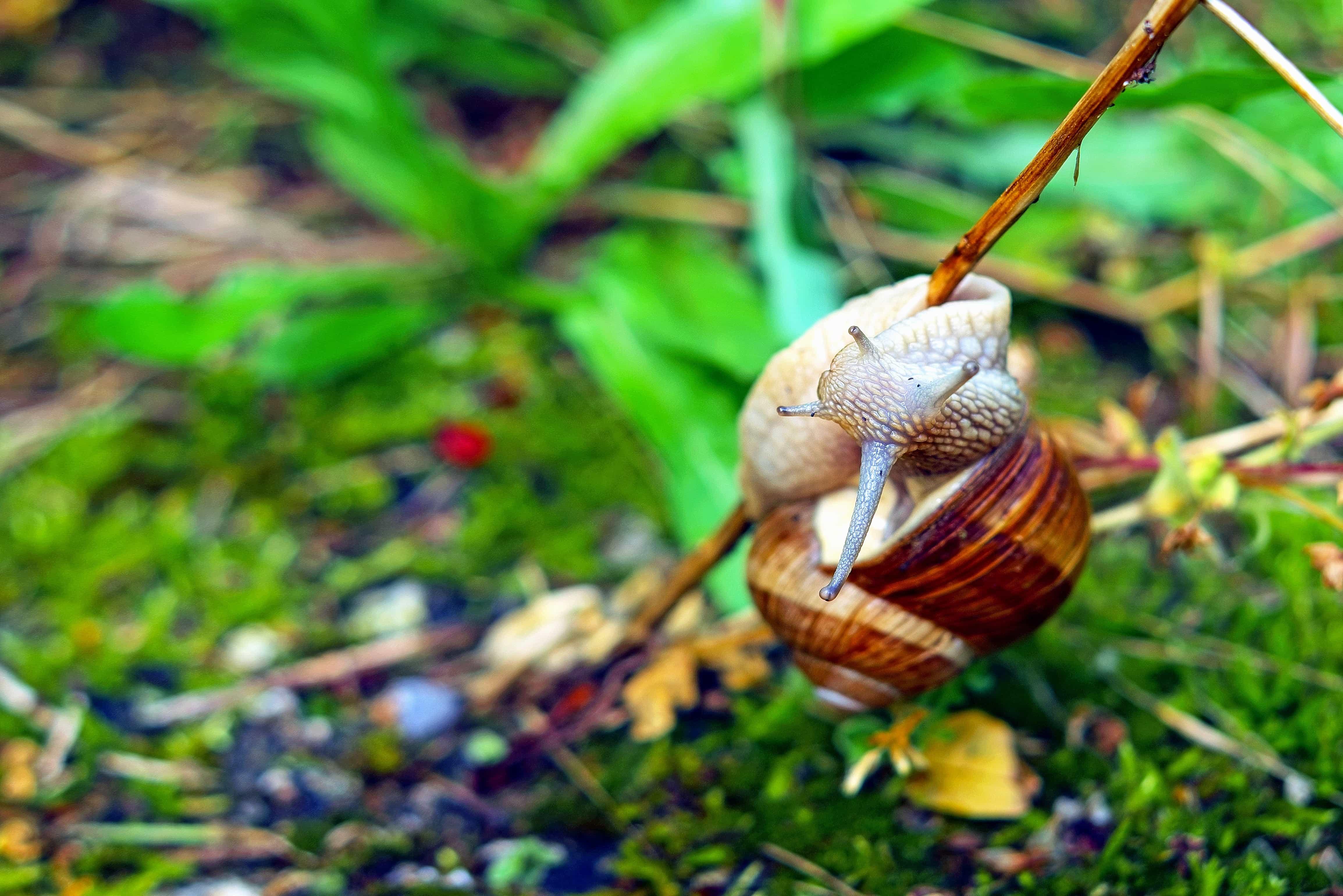 Imagen gratis flora caracol comida hojas jard n for Caracol de jardin alimentacion