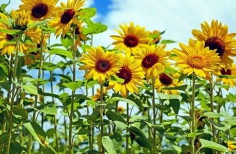 fält, natur, trädgård, sommar, blad, blomma, flora, solros