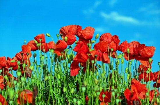herbe, flore, nature, été, champ, fleurs, jardin, coquelicot