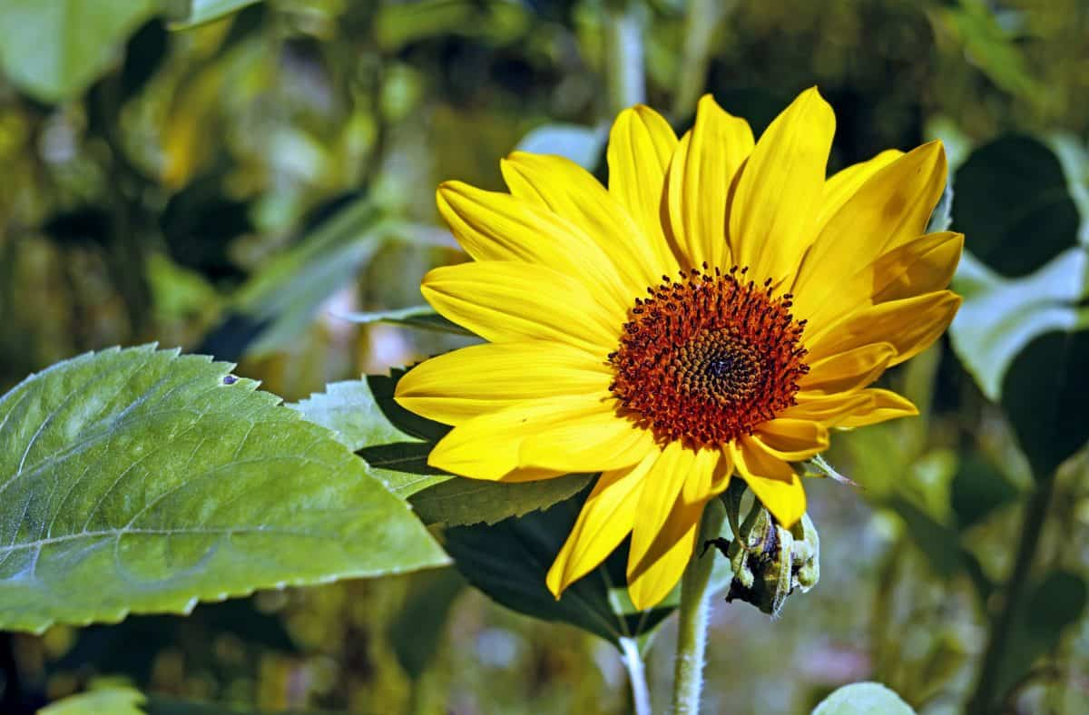 nature, sunflower, summer, leaf, garden, flora, plant