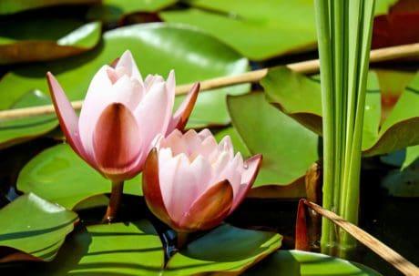 doğa, tropikal çiçek, flora, lotus, egzotik, yaprak, su