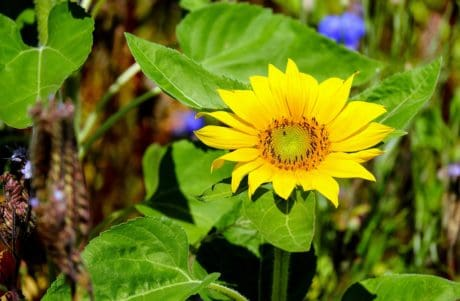 nature, flora, leaf, flower, summer, sunflower, plant, agriculture
