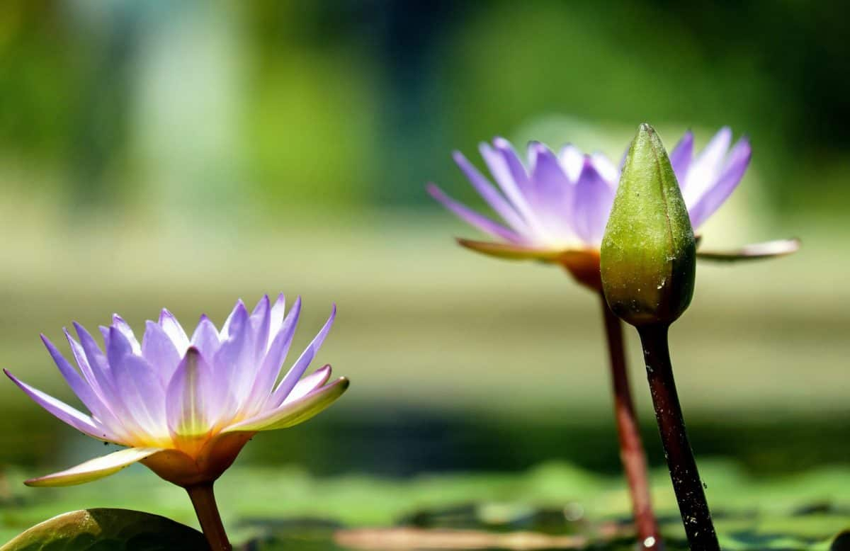 Aquatic, exotisch, Blatt, Seerose, Lotus, Blume, Natur